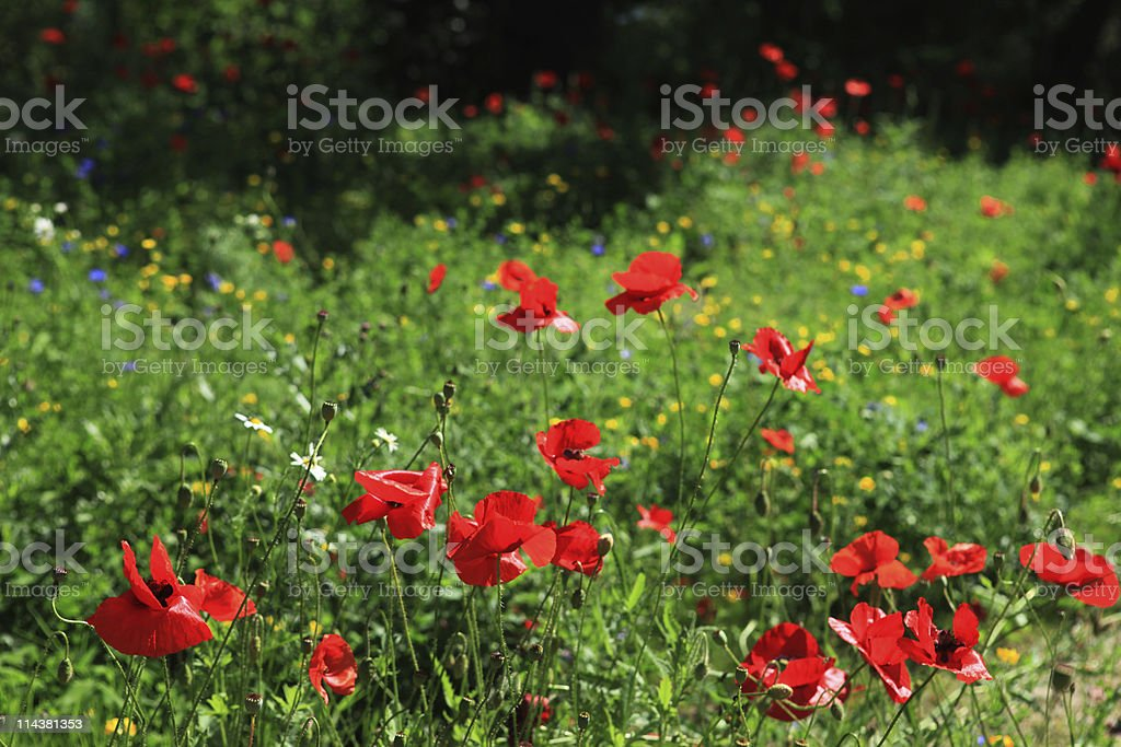 Poppies and other wildflowers in summer meadow royalty-free stock photo