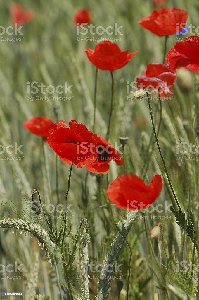 poppies and rye stock photo