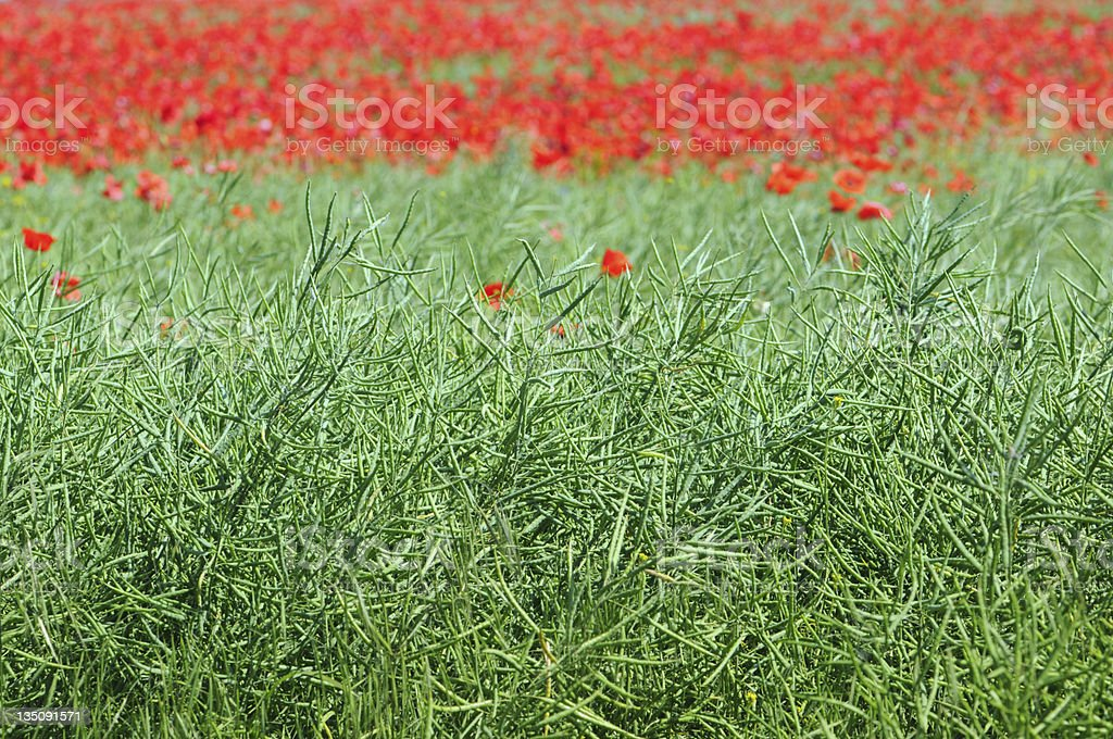poppies and Silique of rape stock photo