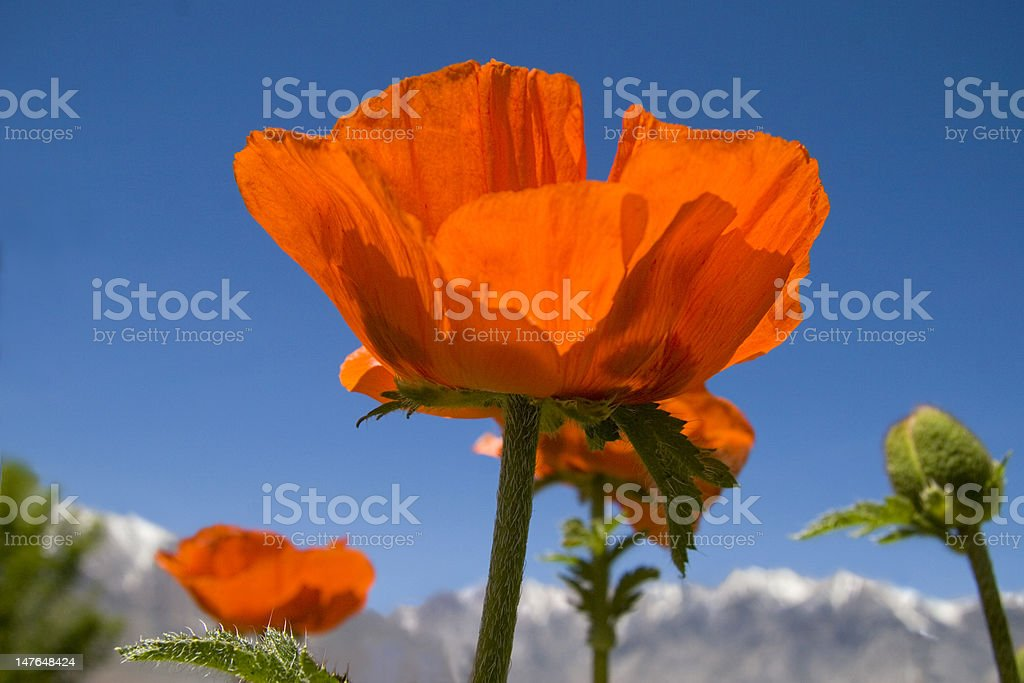 Poppies and Snow Capped Mountains royalty-free stock photo