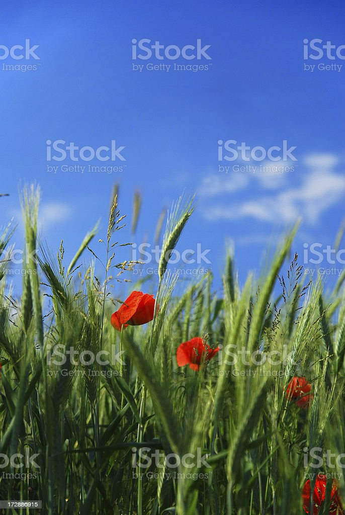 Poppies and wheat royalty-free stock photo