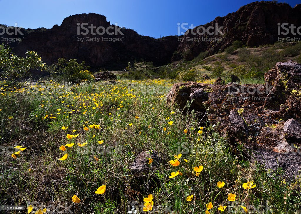 Poppies are golden wildflower accents stock photo