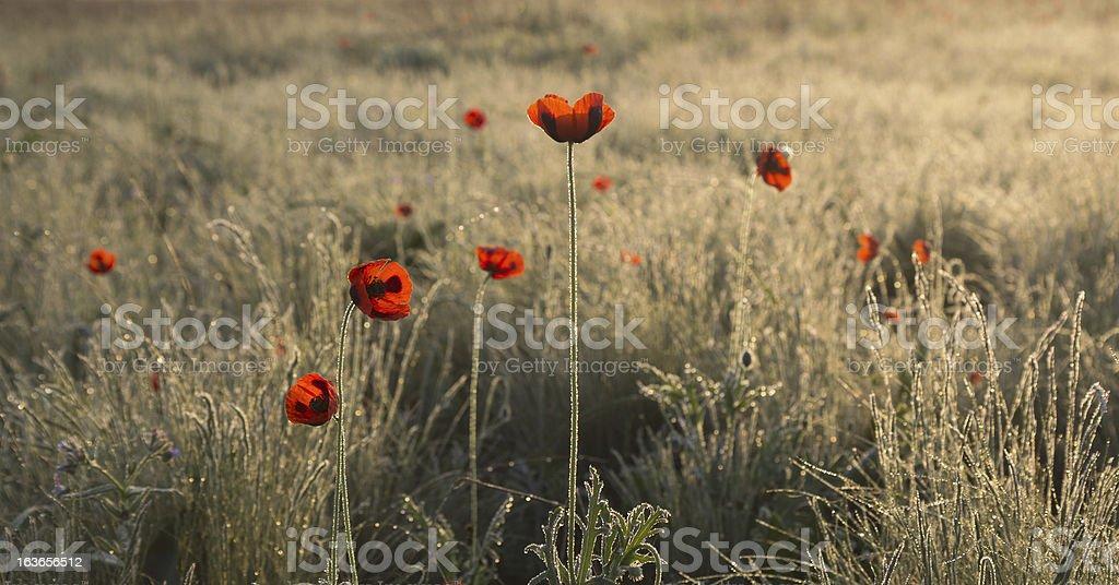 Poppies at dawn royalty-free stock photo