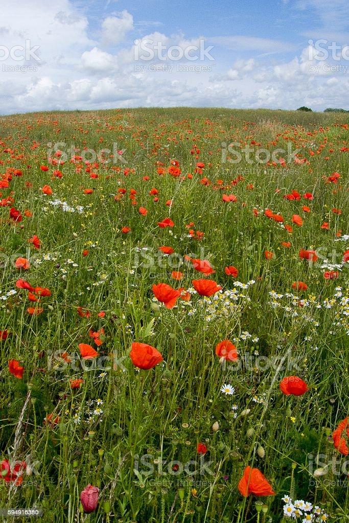 Poppies at Fulking stock photo