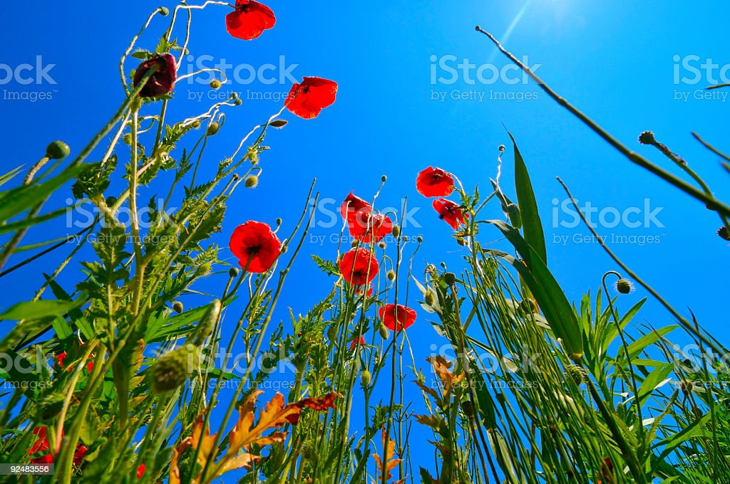 poppies background royalty-free stock photo