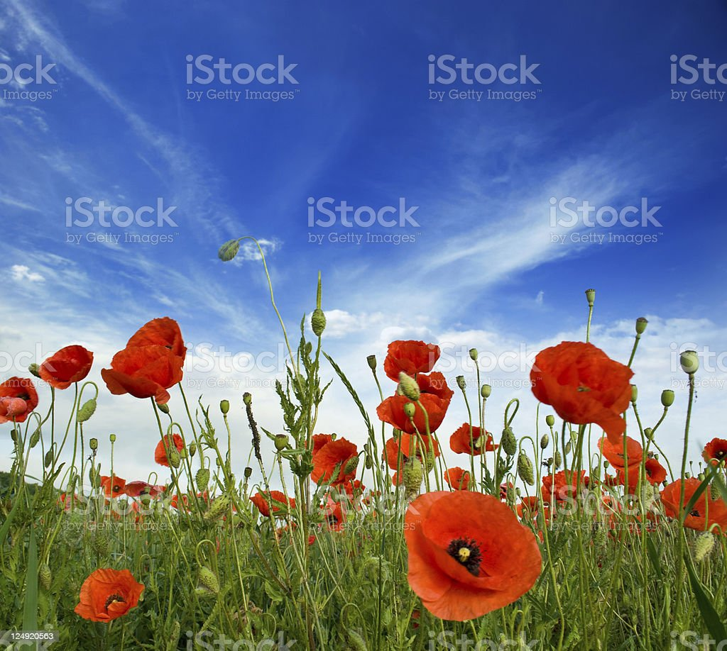 poppies blooming stock photo