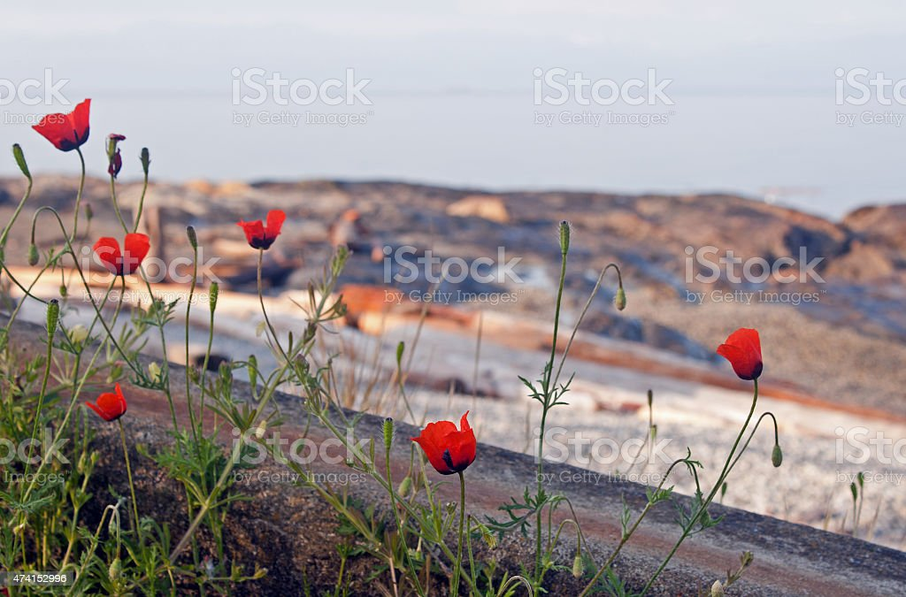 Poppies by the Sea stock photo