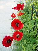 Poppies by the Sidewalk