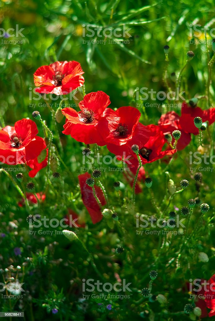 Poppies close up royalty-free stock photo