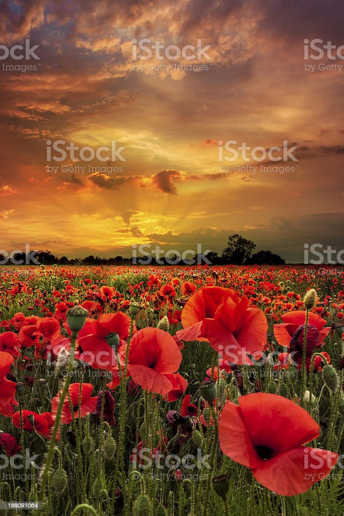 Poppies close up under golden skies stock photo