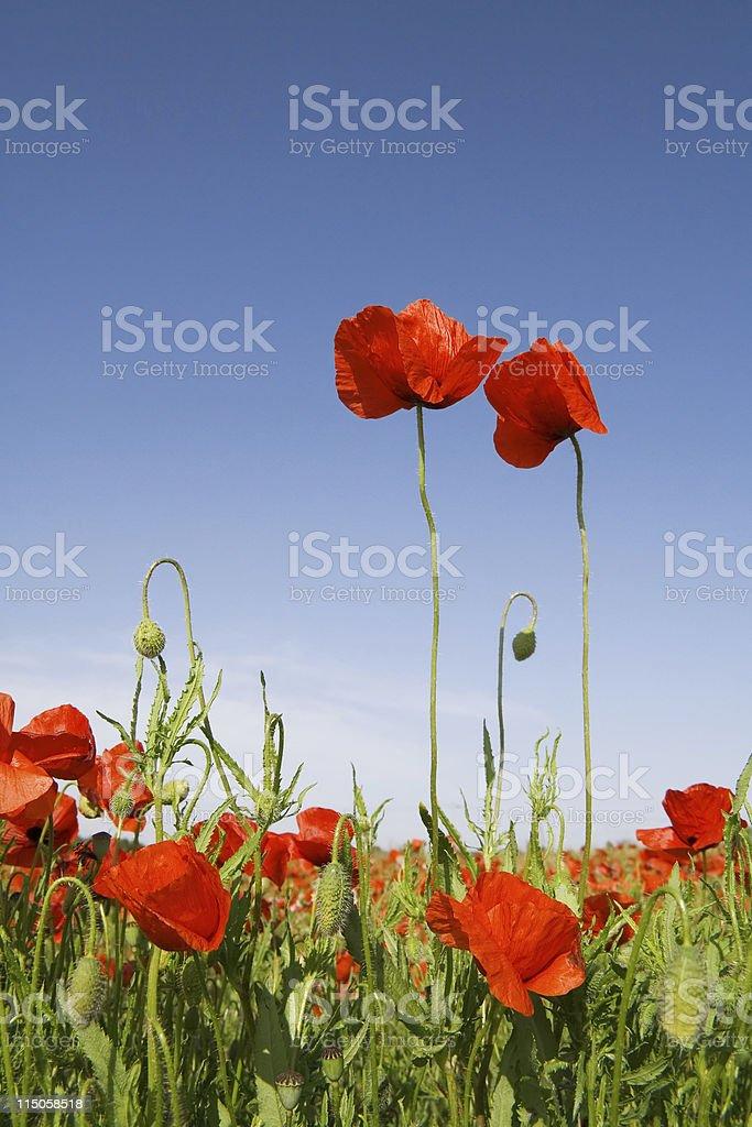 Poppies Couple royalty-free stock photo
