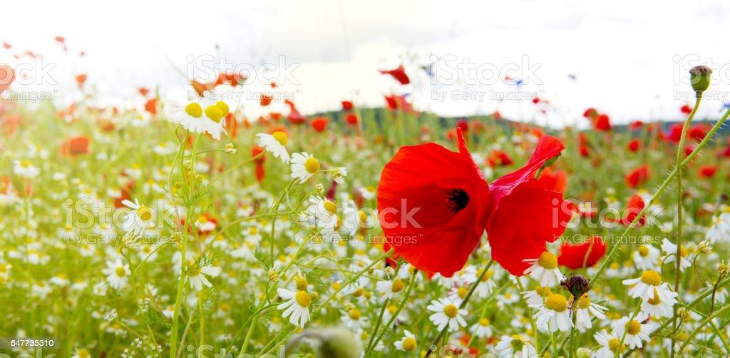 Poppies field in rays sun stock photo
