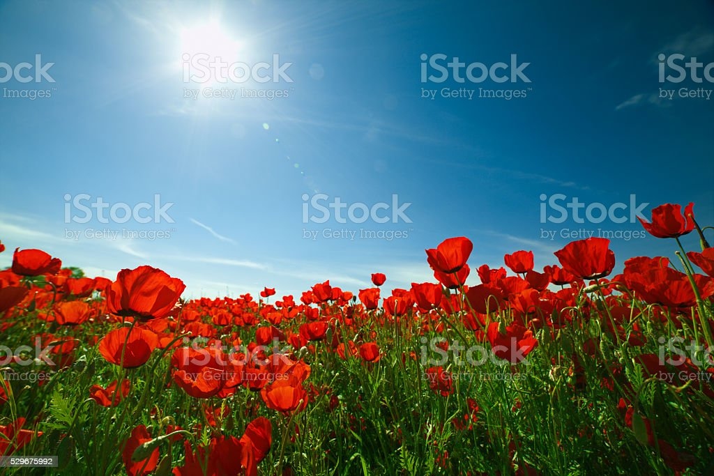 Poppies field with blue sky and sun. Beautiful landscape. stock photo