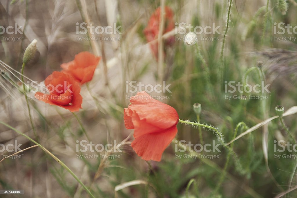 Amapolas II stock photo