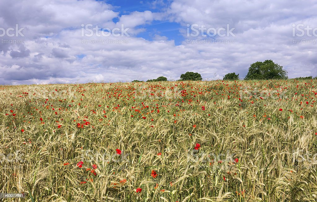 Poppies in a field of wheat, Yorkshire, UK. stock photo