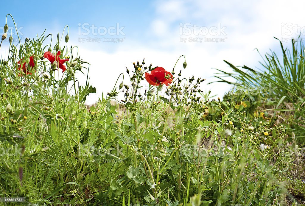 Poppies in a field royalty-free stock photo