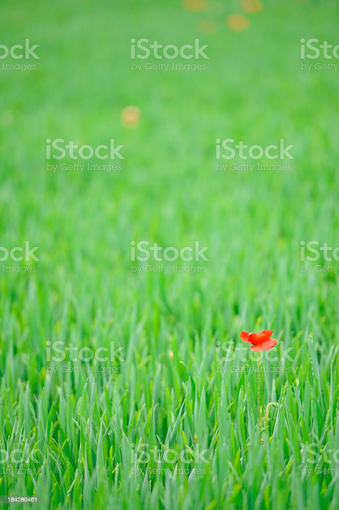 Poppies in a green wheat field royalty-free stock photo