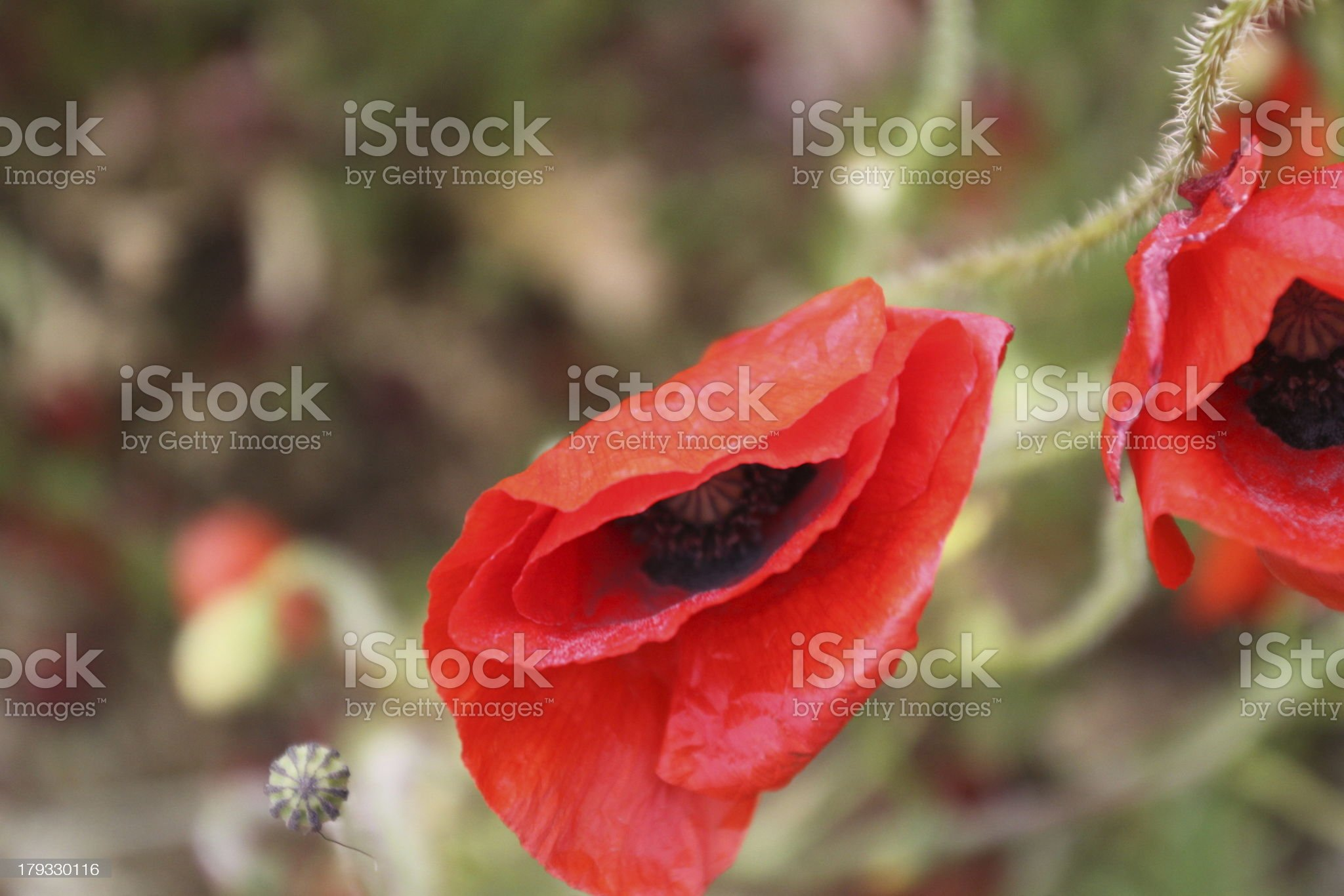 Poppies in a row royalty-free stock photo