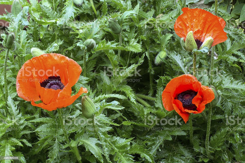 Poppies in an English garden royalty-free stock photo