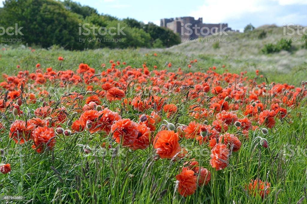 Poppies in Bamburgh stock photo
