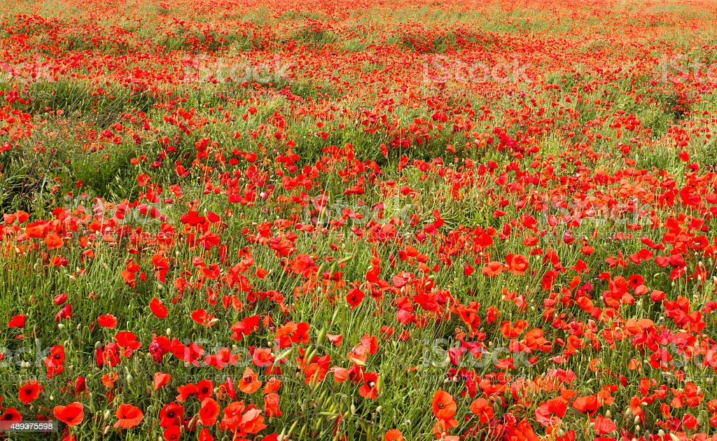 Poppies nell'East Sussex foto stock royalty-free