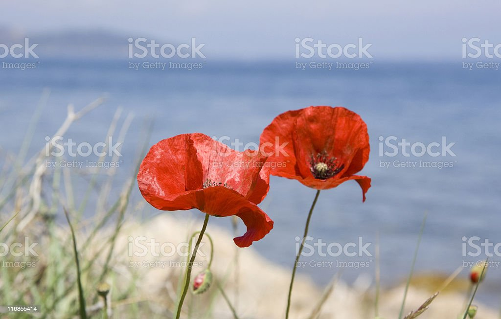 poppies in front of the ocean stock photo