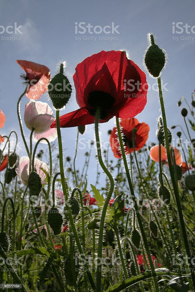 Poppies in garden. royalty-free stock photo