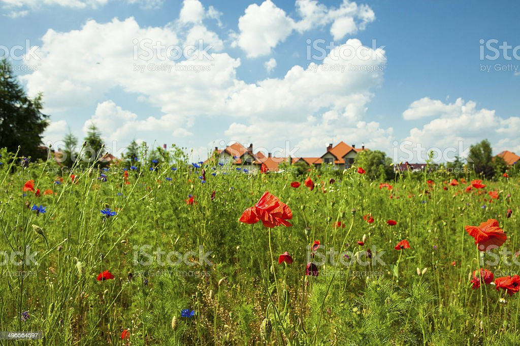Poppies in  meadow royalty-free stock photo