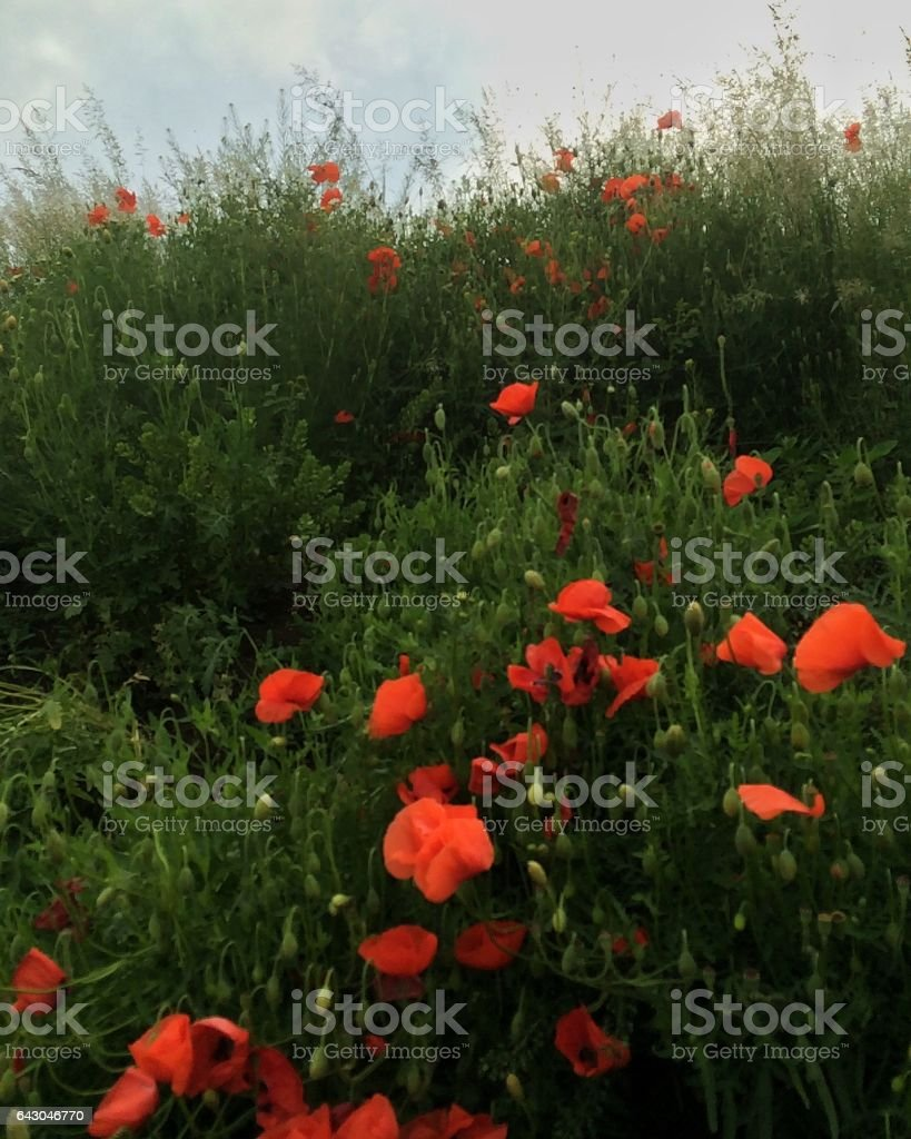 Poppies in poppy field stock photo