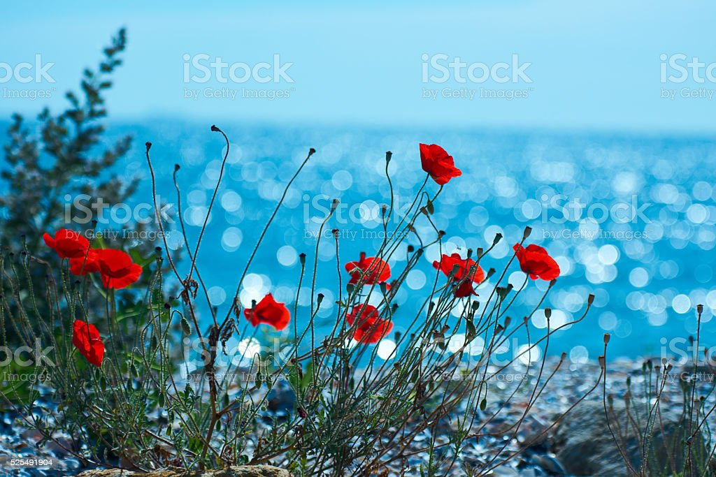 poppies in spring day stock photo