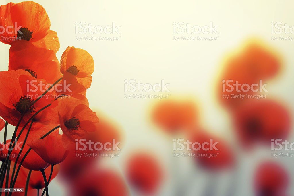 poppies in spring with beautiful bokeh stock photo