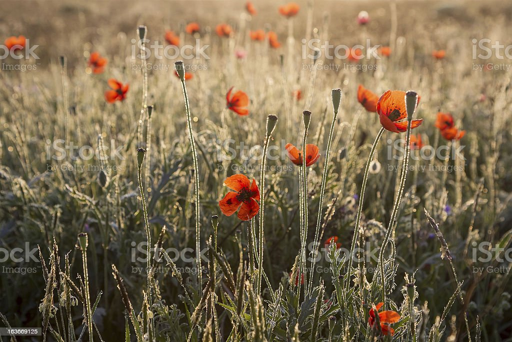 Poppies in the dew royalty-free stock photo