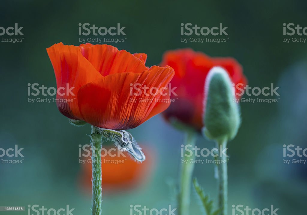 Poppies in the Garden royalty-free stock photo