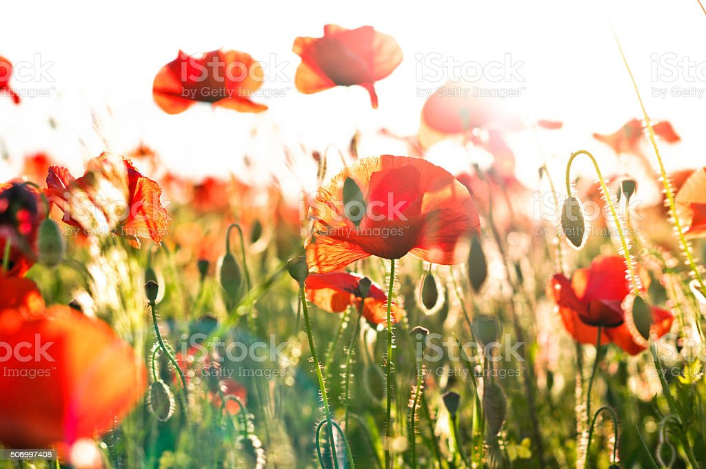 Poppies in the sun stock photo
