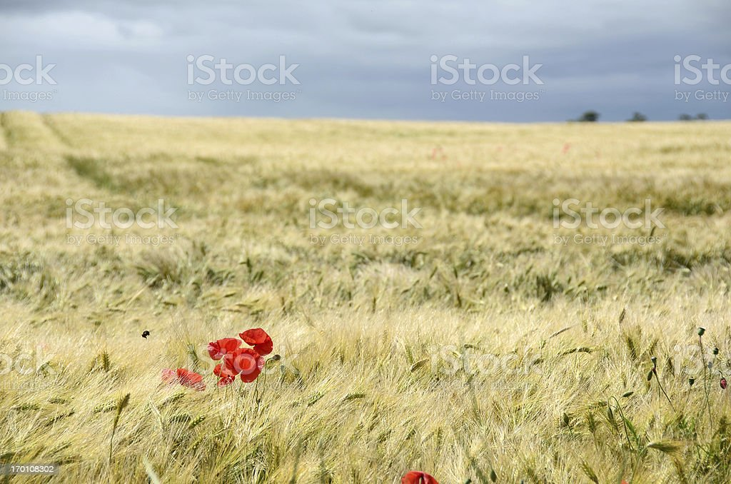 Poppies in Wheat Field Before a Storm royalty-free stock photo