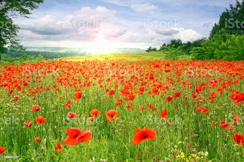 Poppies landscape stock photo