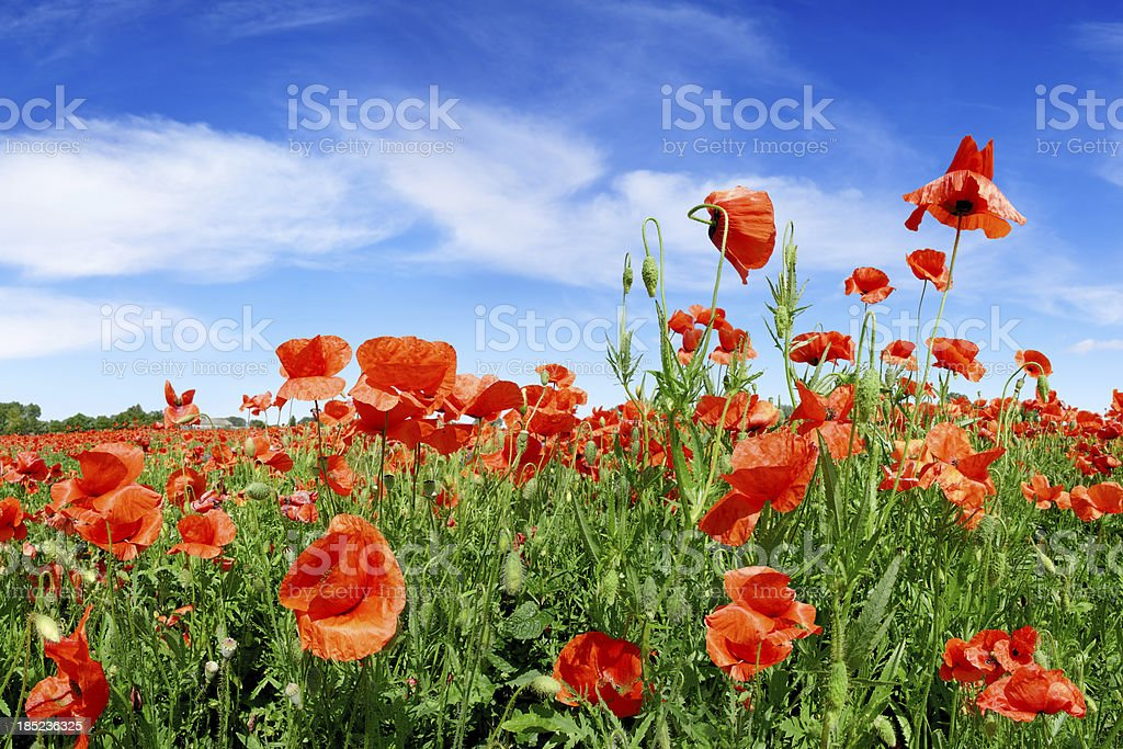 Poppies on green field royalty-free stock photo