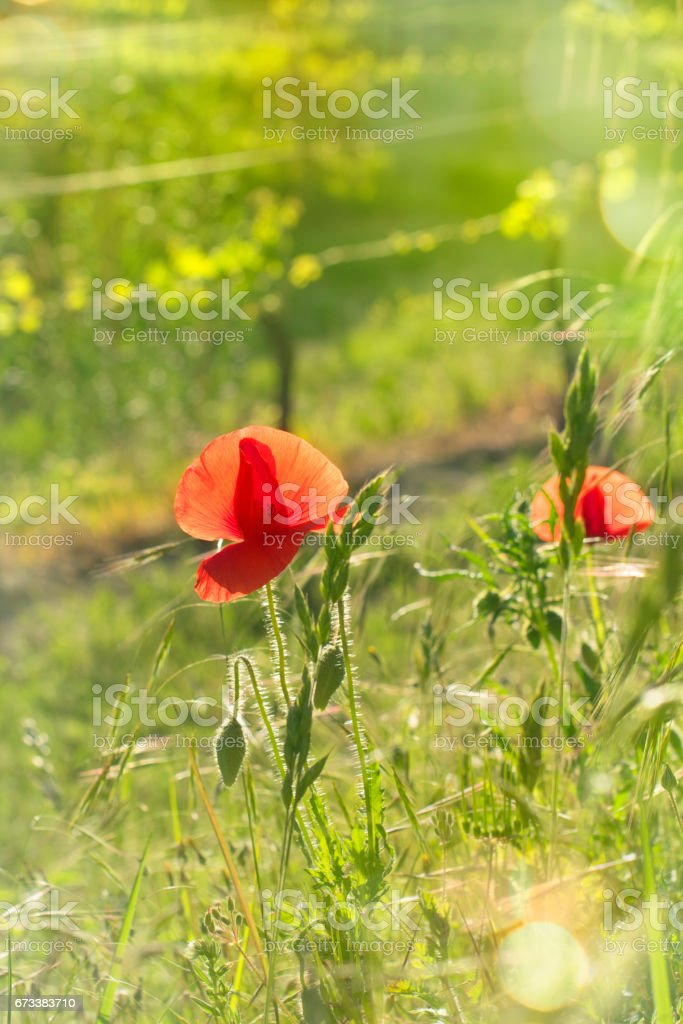 Poppies on green grass in the sun on the background of the vineyard stock photo