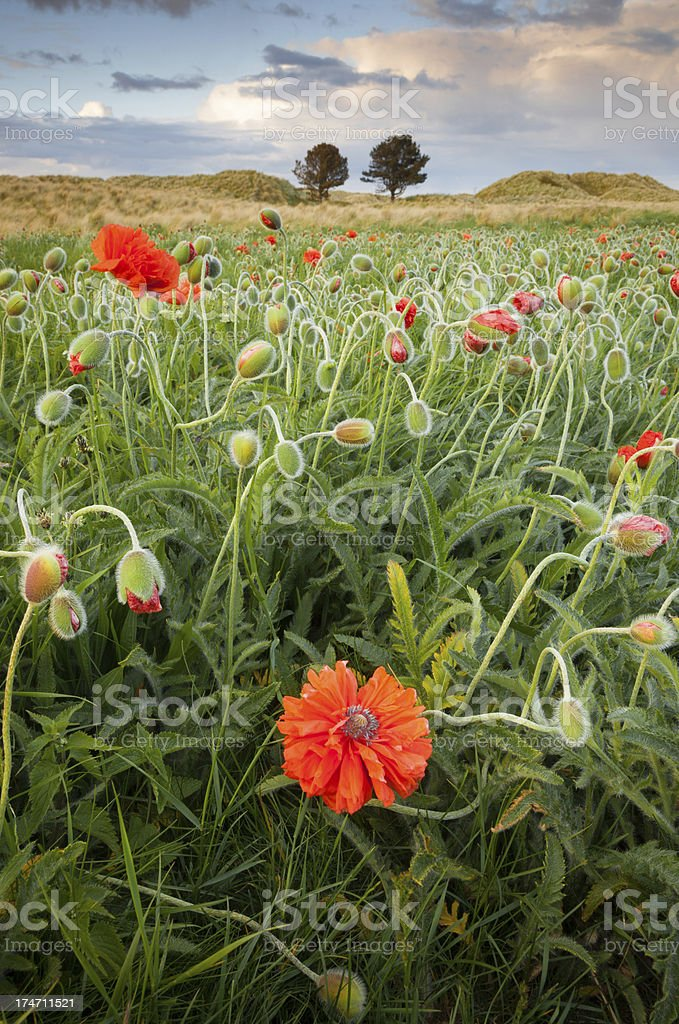Poppies on Sandunes Bamburgh royalty-free stock photo