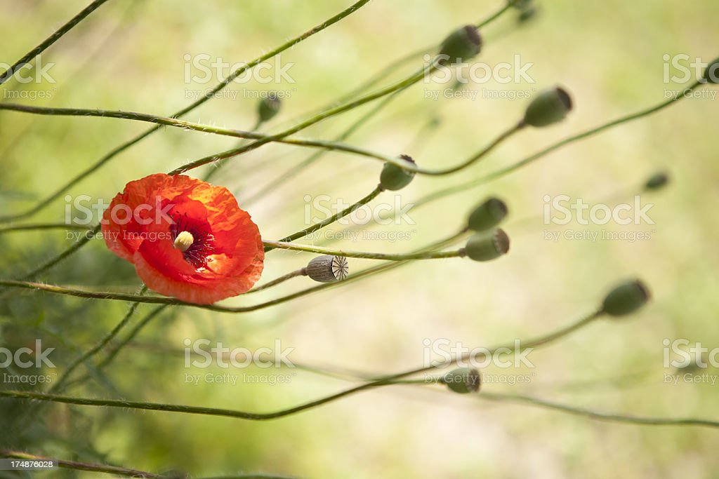 Poppies On Sunset royalty-free stock photo