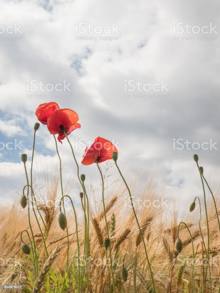 Poppies On The Border Of A Field With Cloudy Sky Poppy Flower Stock