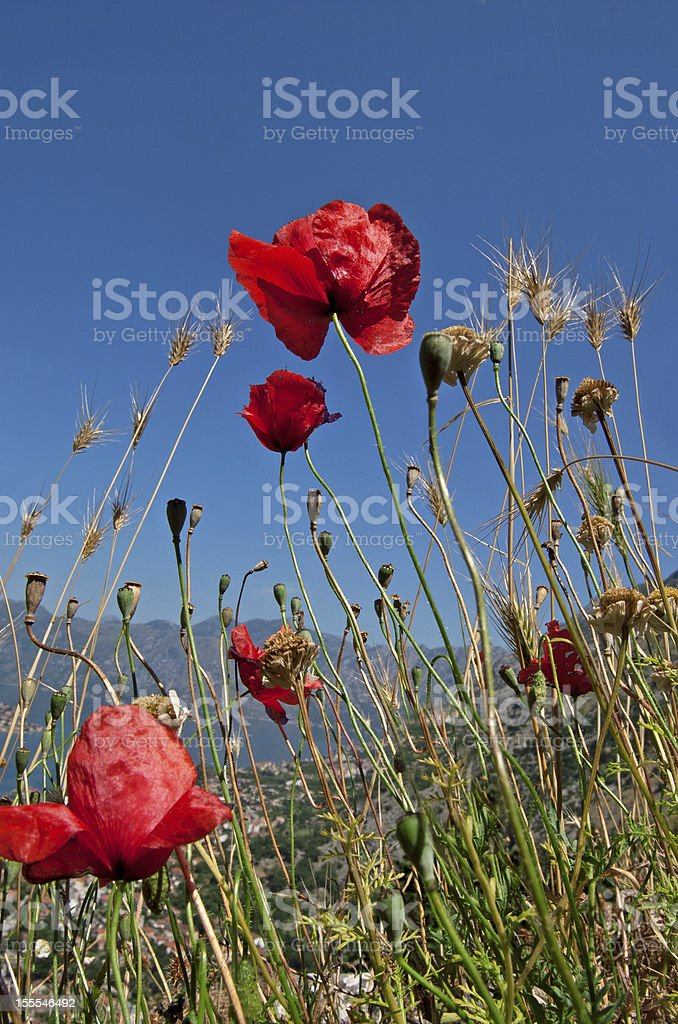 Poppies on the field royalty-free stock photo