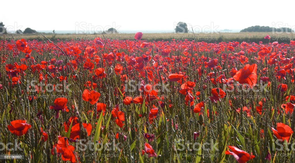 Poppies on the Isle de Ré stock photo