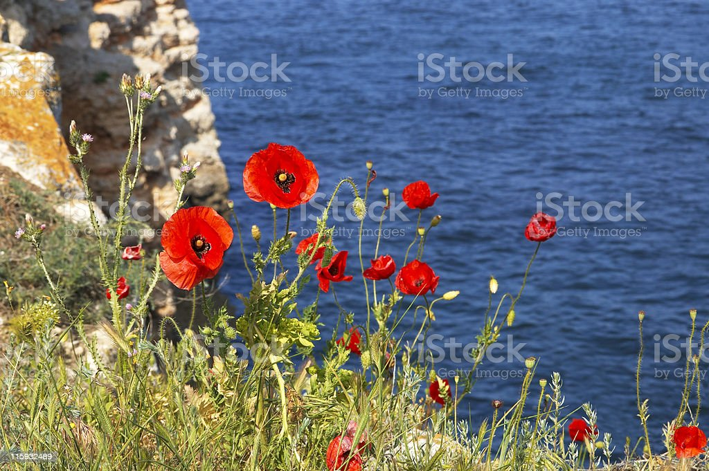 Poppies on the shoreline royalty-free stock photo