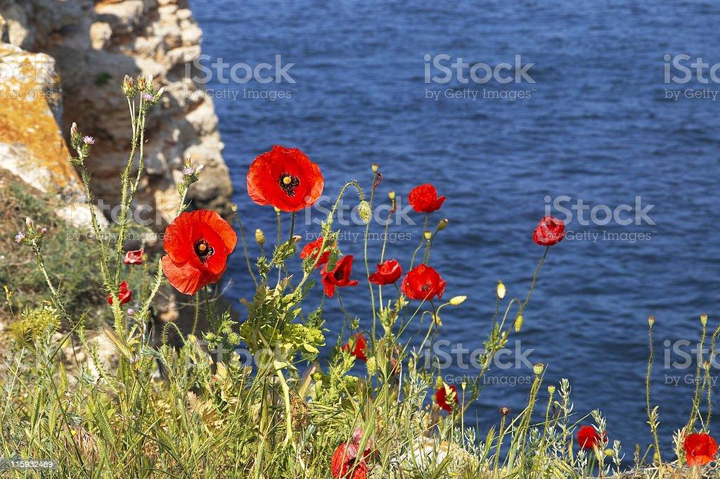Poppies on the shoreline stock photo