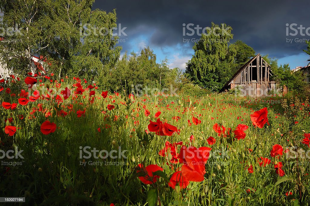 Poppies on the storm royalty-free stock photo
