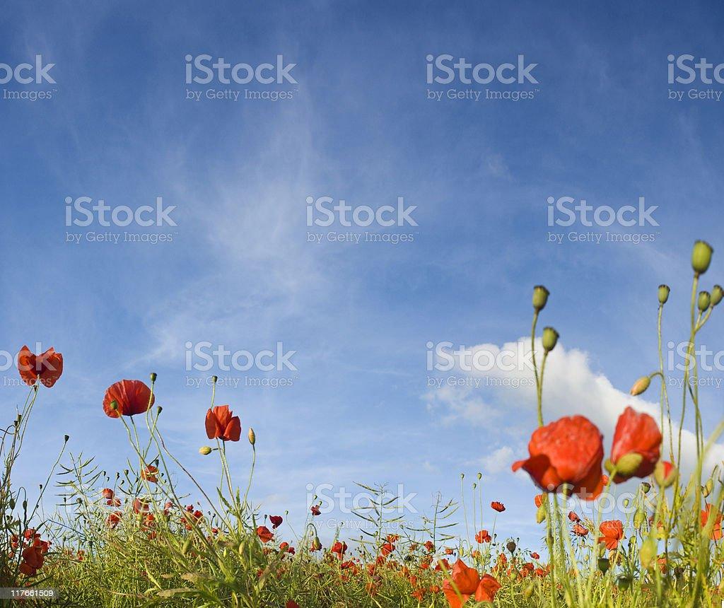 Poppies. royalty-free stock photo