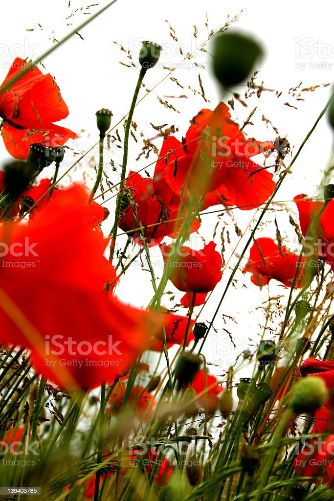Poppies stock photo