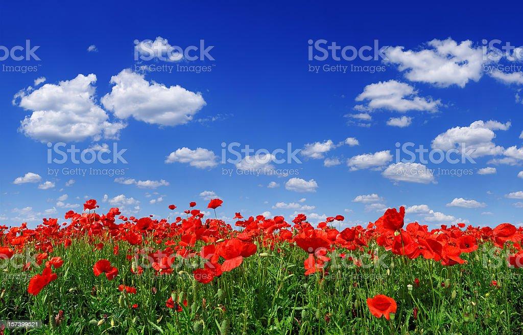 Poppies (XXXL size) royalty-free stock photo