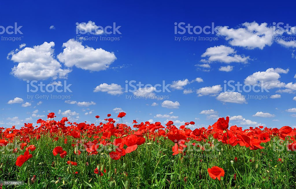 Poppies (XXXL size) stock photo